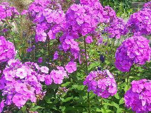 Fleurs comestibles vivaces - Phlox vivace couvre sol ...