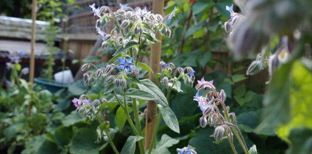 Les fleurs de bourrache attirent les pollinisateurs et apporte une touche de fraîcheur aux salades