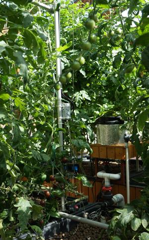 Les tomates poussent dans les billes d'argile