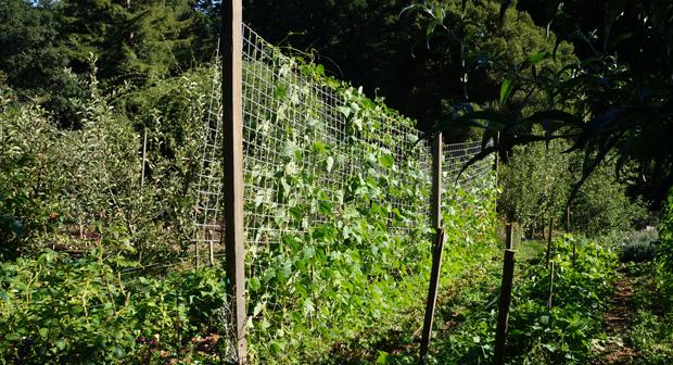 Les haricots utilisent l'espace vertical