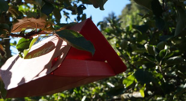 Les mouches des fruits sont trompées avec des pièges à phéromones.