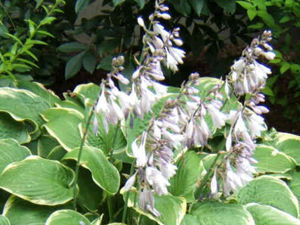hosta-Fortunei