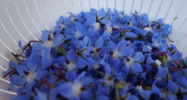 fleurs-bourrache