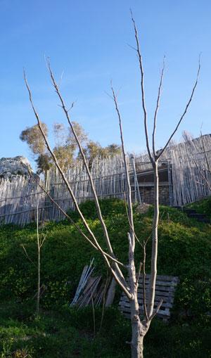 Le moringa oleifera, arbre aux multiples vertus