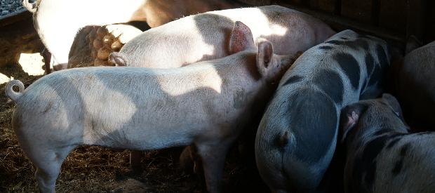 cochons-viel-audon