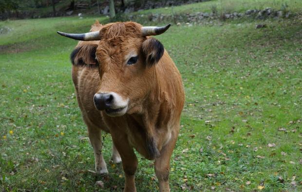vaches-viel-audon