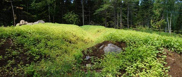 Le sarrasin semé très dense ne laisse aucune chance aux autres plantes