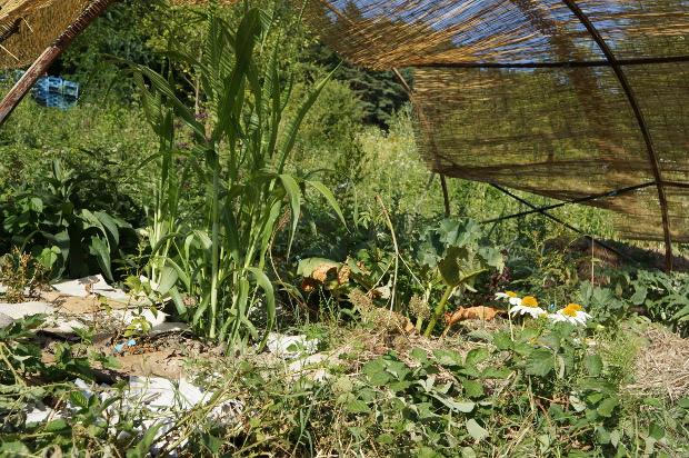 Sous l'ombrière s'épanouissent du sorgho, de la rhubarbe, des aromatiques... ainsi que beaucoup de prêles et de ronces !