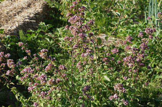 Origan sauvage dont raffolent les abeilles