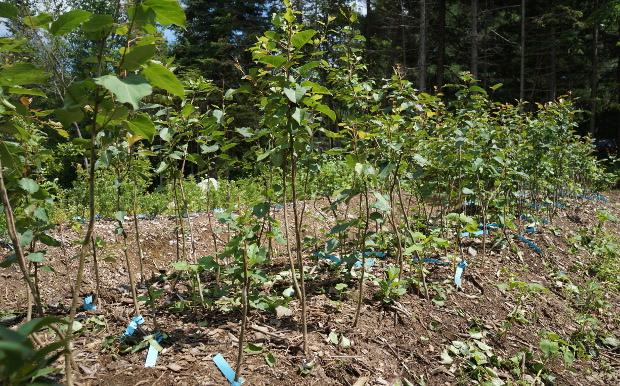 Arbres cultivés sur butte