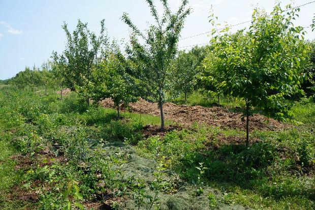 Les porte-greffes poussent entre les arbres  fruitiers plus matures