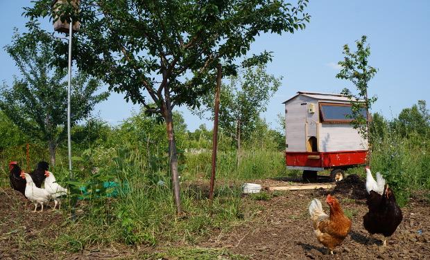 Poulailler mobile autoconstruit sur une remorque