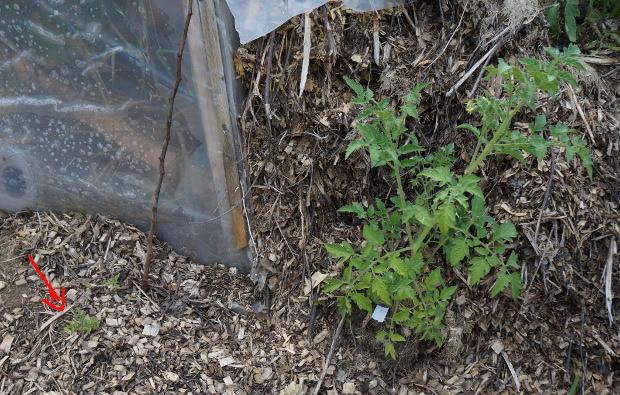 Ceux deux pieds de tomates ont été plantés en même temps